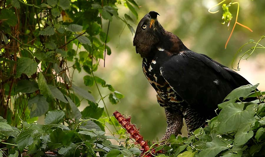 Photograph of African Crowned Eagle