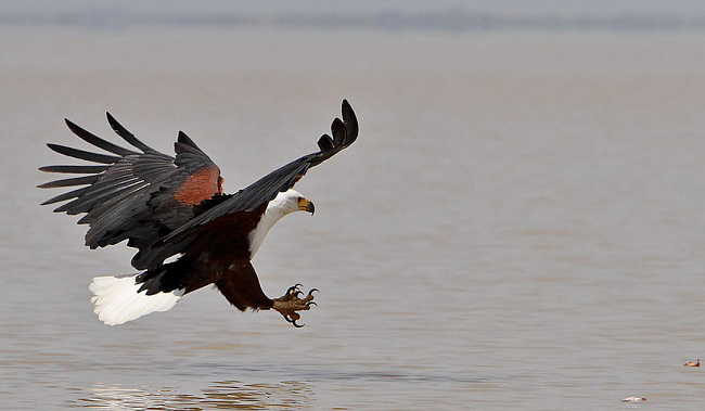 Photograph of African Fish Eagle