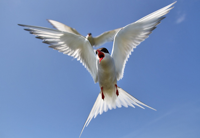 Photograph of Arctic Tern
