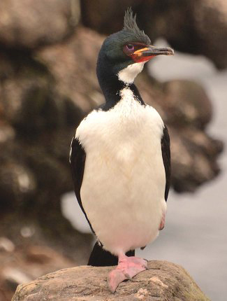 Photograph of Auckland Island Shag