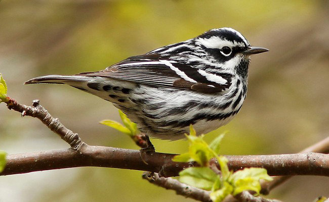 Photograph of Black-and-white Warbler