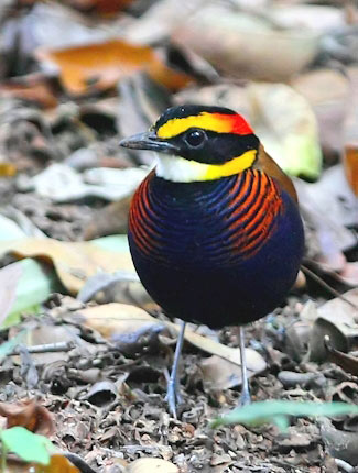 Photograph of Banded Pitta