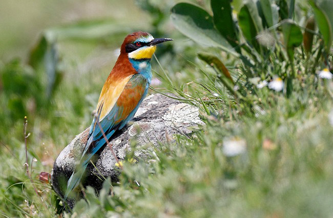 Photograph of European Bee-eater