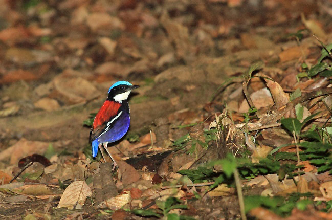 Photograph of Blue-headed Pitta