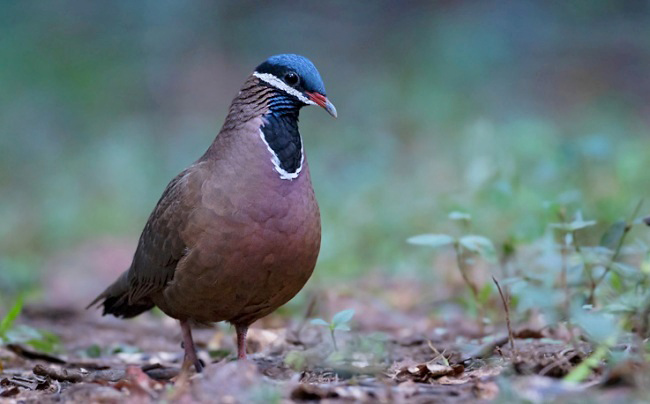 Photograph of Blue-headed Quail Dove