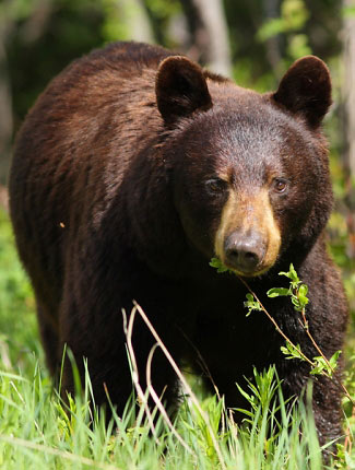 Photograph of Black Bear