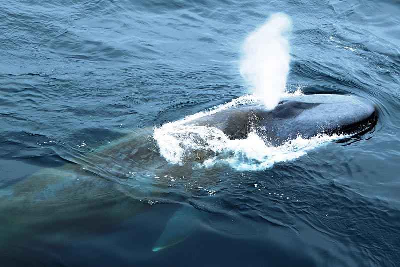 Photograph of Blue Whale