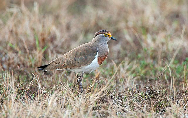 Photograph of Brown-chested Lapwing