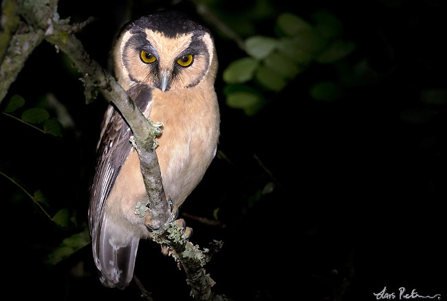 Photograph of Buff-fronted Owl