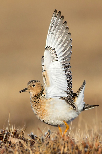 Photograph of Buff-breasted Sandpiper