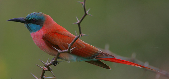 Photograph of Northern Carmine Bee-eater