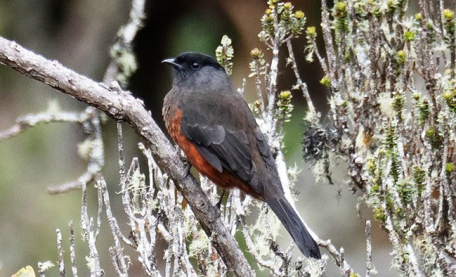 Photograph of Chestnut-bellied Cotinga