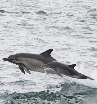 Photograph of Common Dolphins