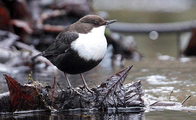 Photograph of White-throated Dipper