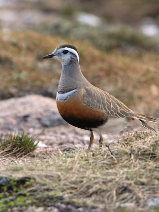 Photograph of Dotterel
