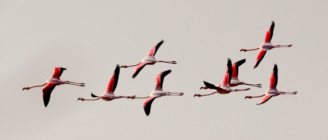 Photograph of Greater Flamingoes