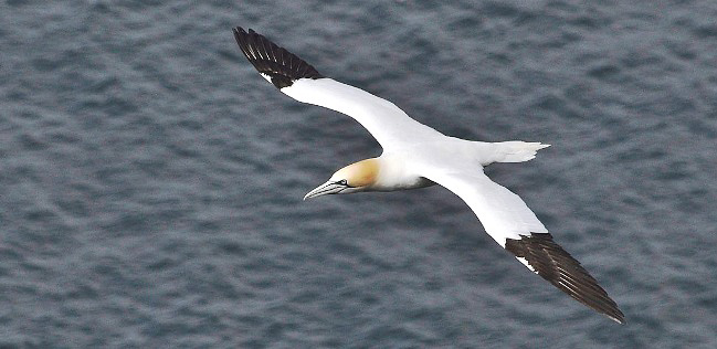 Photograph of Northern Gannet