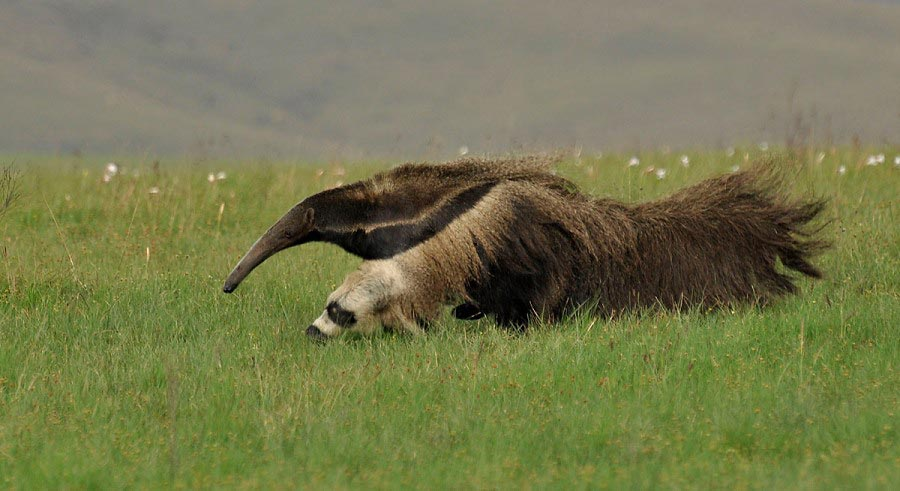 Photograph of Giant Anteater