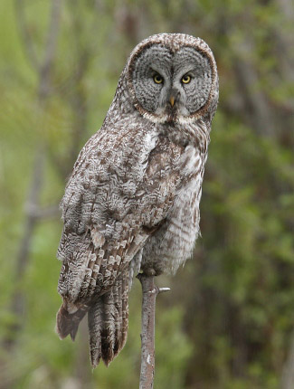 Photograph of Great Grey Owl