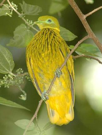 Photograph of Golden Dove