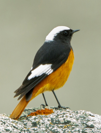 Photograph of Guldenstadt's Redstart