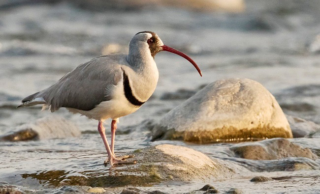Photograph of Ibisbill