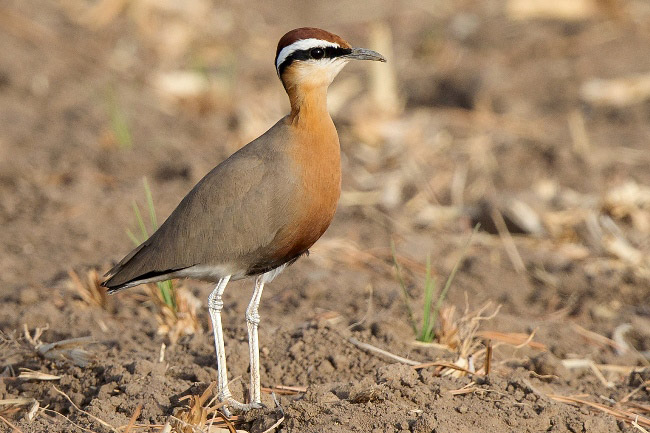 Photograph of Indian Courser