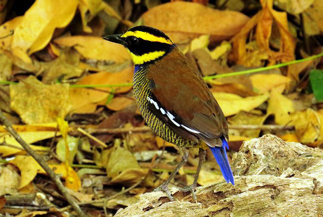 Photograph of Javan Banded Pitta