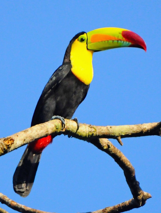 Photograph of Keel-billed Toucan