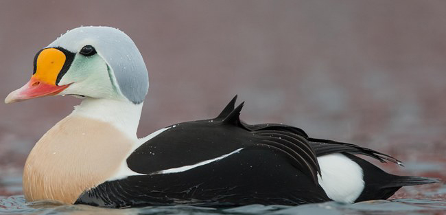 Photograph of King Eider