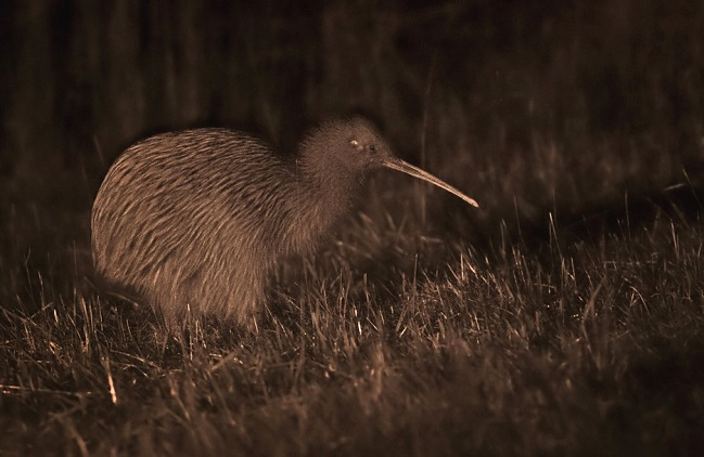 Photograph of Southern Brown Kiwi