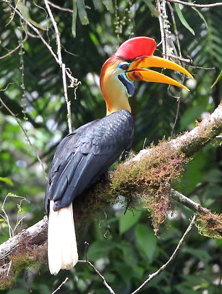 Photograph of Knobbed Hornbill