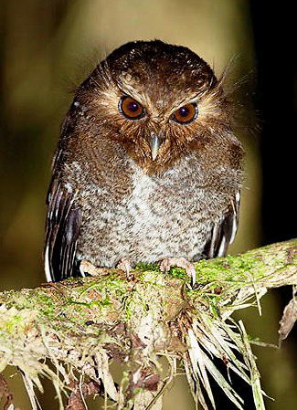 Photograph of Long-whiskered Owlet