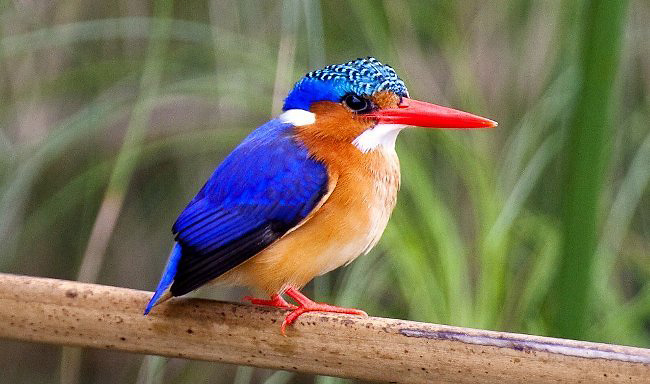 Photograph of Malachite Kingfisher