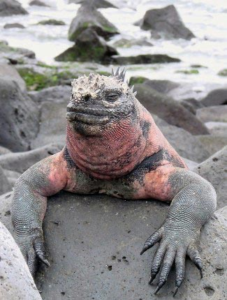 Photograph of Marine Iguana