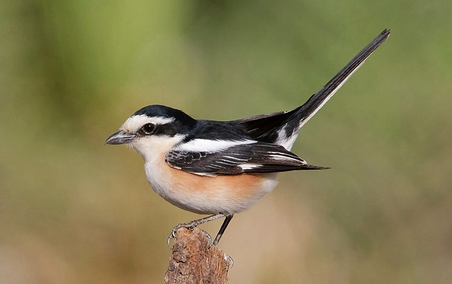 Photograph of Masked Shrike