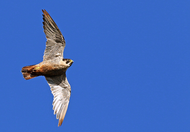 Photograph of Peregrine Falcon