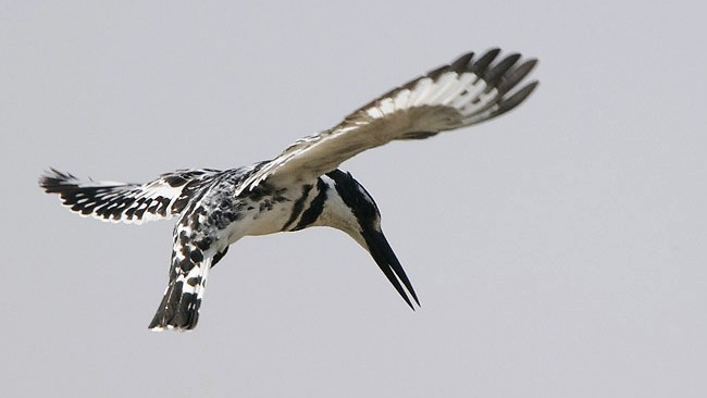 Photograph of Pied Kingfisher