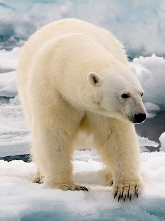 Photograph of Polar Bear