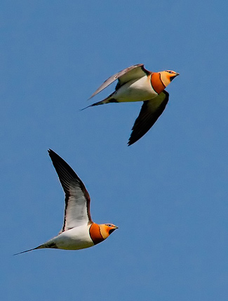 Photograph of Pin-tailed Sandgrouse