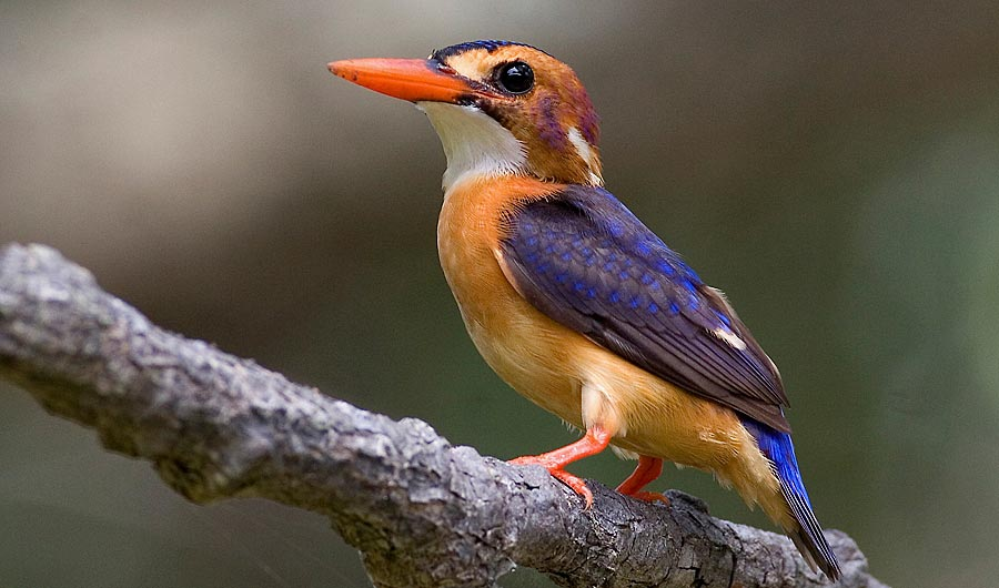 Photograph of African Pygmy Kingfisher