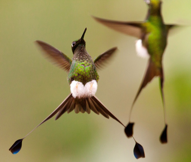 Photograph of Booted Racket-tails