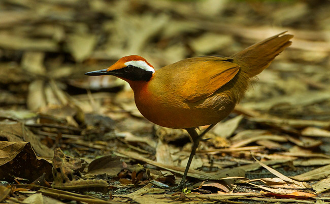 Photograph of Rail Babbler