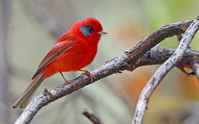 Photograph of Red Warbler