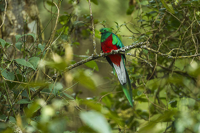Photograph of Resplendent Quetzal