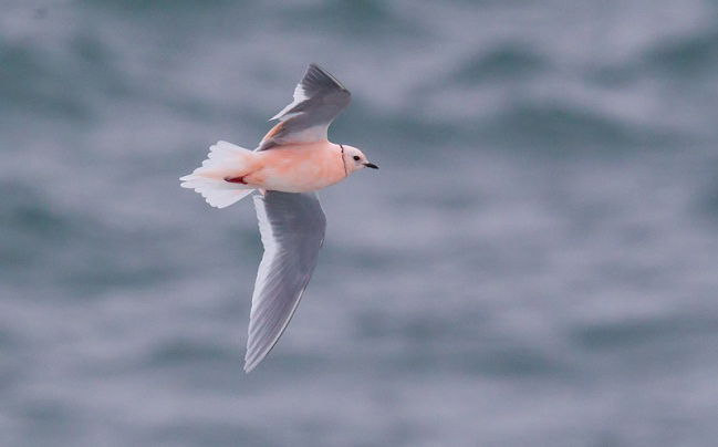 Photograph of Ross's Gull