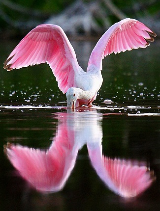 Photograph of Roseate Spoonbill