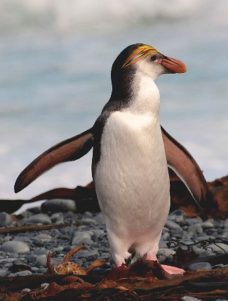 Photograph of Royal Penguin