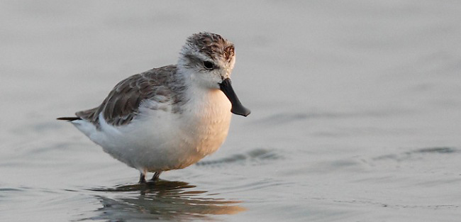 Photograph of Spoon-billed Sandpiper
