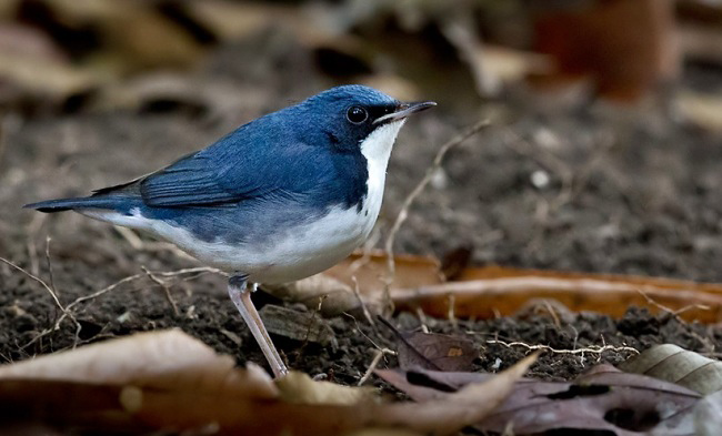 Photograph of Siberian Blue Robin